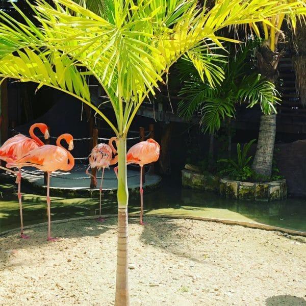 Costa Maya Flamingos